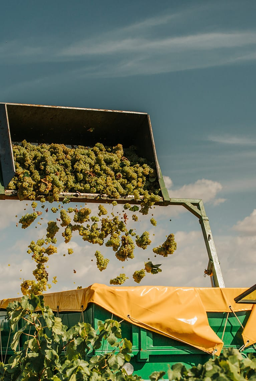 Maquinaria cosechando uva de la Denominación de Origen Manchuela