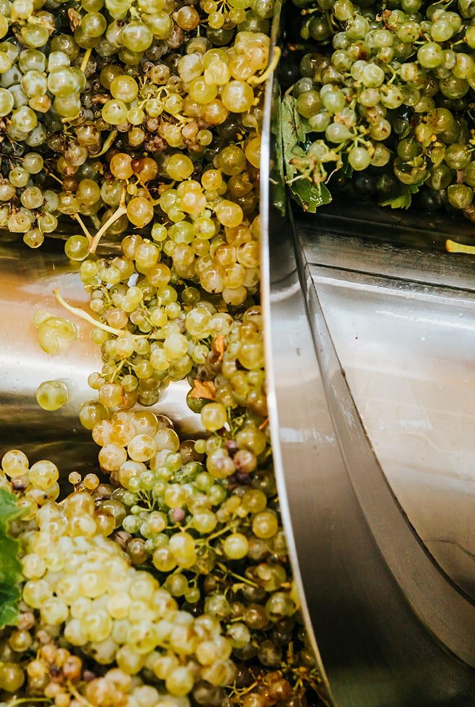 Variedad de uva en proceso de estrujado, para producción de vino
