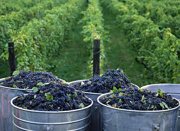 Los viñedos están ubicados en un territorio muy particular