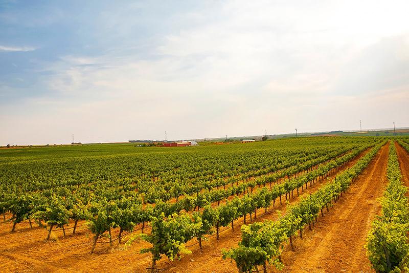 Las viñas en pleno territorio de la Manchuela conquense