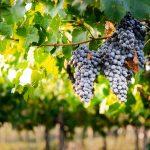 ¿Cómo nace la uva en el viñedo?